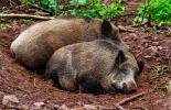 Ямбол първенец по африканска чума по диви прасета