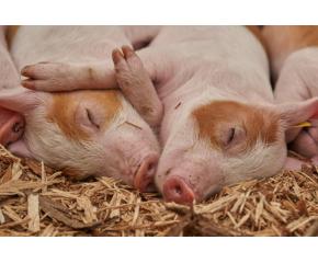 В Ямболска област не са открити случаи на африканска чума по свинете