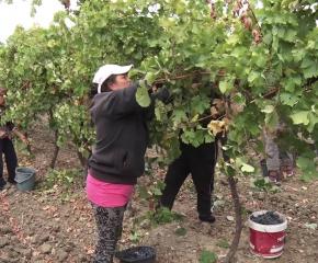 За Деня на независимостта откриват гроздобера в Стралджа