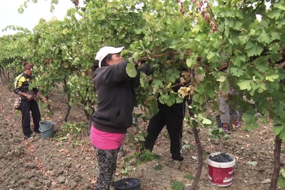 Брането на грозде в лозовите масиви в землището на Стралджа да се извърши на 21,22 и 23...