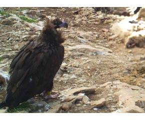 За първи път от три десетилетия насам, черният лешояд (карталът) гнезди в България