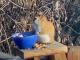Забавно: Катерица се напи с ферментирали круши (ВИДЕО)