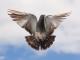 Задържаха две малолетни момчета за кражба на гълъби в Сливен