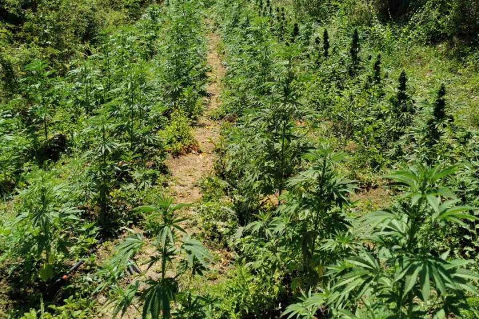 """Шест лица, съпричастни към отглеждането на нива с конопени растения в землището на с. Брястовец, са задържани от служители на отдел """"Криминална полиция"""",..."""