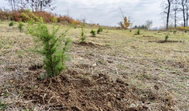"""Залесяват Лесопарк """"Боровец"""" с черен бор и хималайски кедър"""