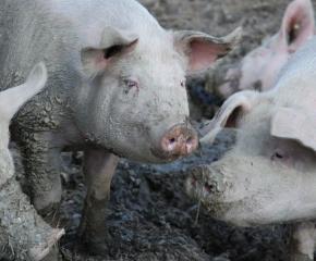 Започна умъртвяването на всички 24 500 прасета в Никола Козлево