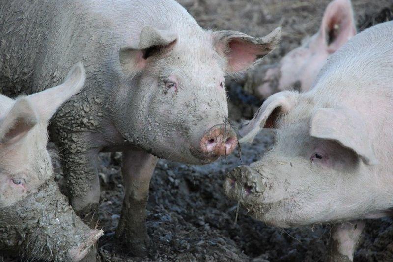 Започна умъртвяването на всички 24 500 прасета от индустриалната ферма край шуменското село Никола Козлево, където беконстатирана африканска чума по свинете,...
