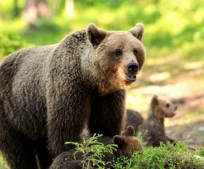 Започва кампания за опазване на мечките у нас