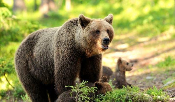 Природозащитната организация WWF започва дарителска кампания, посветена на кафявите мечки в България, съобщават от OffNews. Проучване на Министерството...