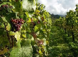 """От днес Фонд """"Земеделие"""" започва да приема проекти по мярката за инвестиции в предприятия от лозаро-винарския сектор. Общият бюджет по мярката е над 34..."""