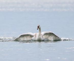 Заради топлото време намаляват зимуващите водолюбиви птици