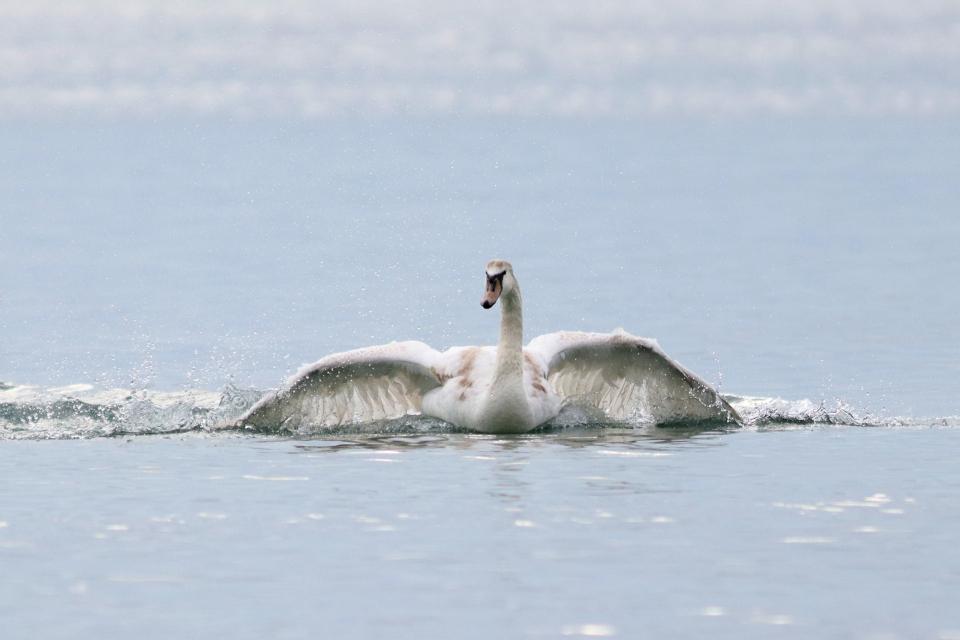 Най-много зимуващи водолюбиви птици у нас са регистрирани по Черноморско крайбрежие и река Дунав. Това сочат резултатите от 44-то преброяване на зимуващите...