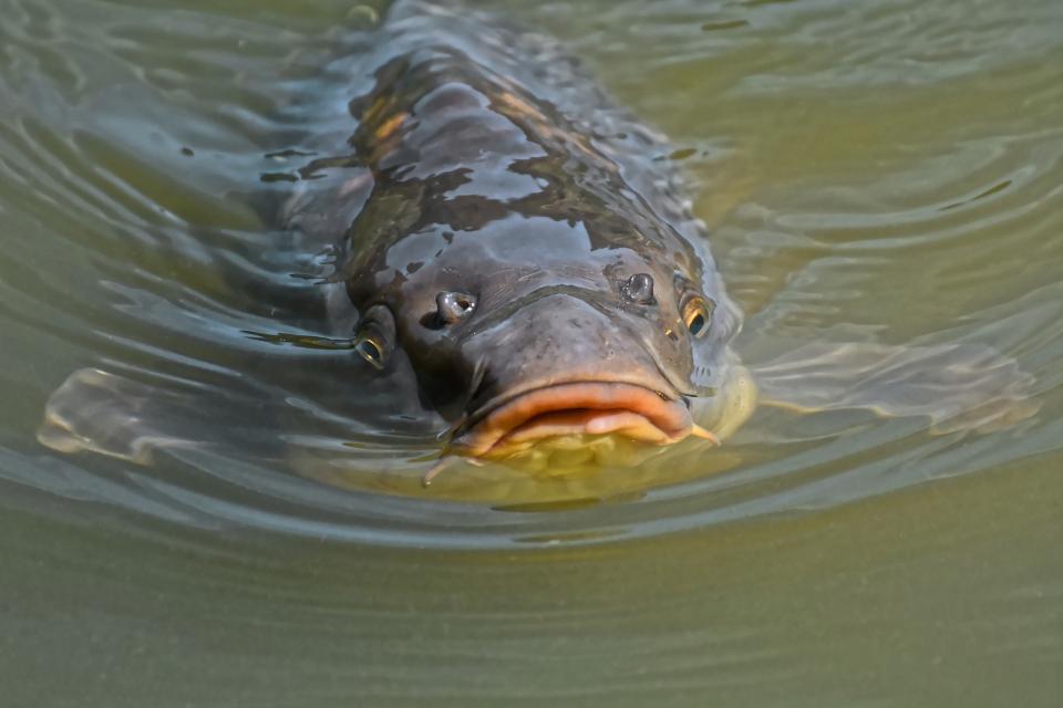 """С над 3000 шарана зарибиха язовир """"Доспат"""", пишат от БНР. Намаляването на рибата се дължи на продължителните горещини това лято, както и на бракониерски..."""