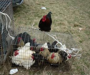 Засилват контрола по пазарите, заради забраната за продажба на живи птици (ВИДЕО)