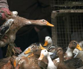 Затягат контрола върху птиците, заради риск от инфлуенца