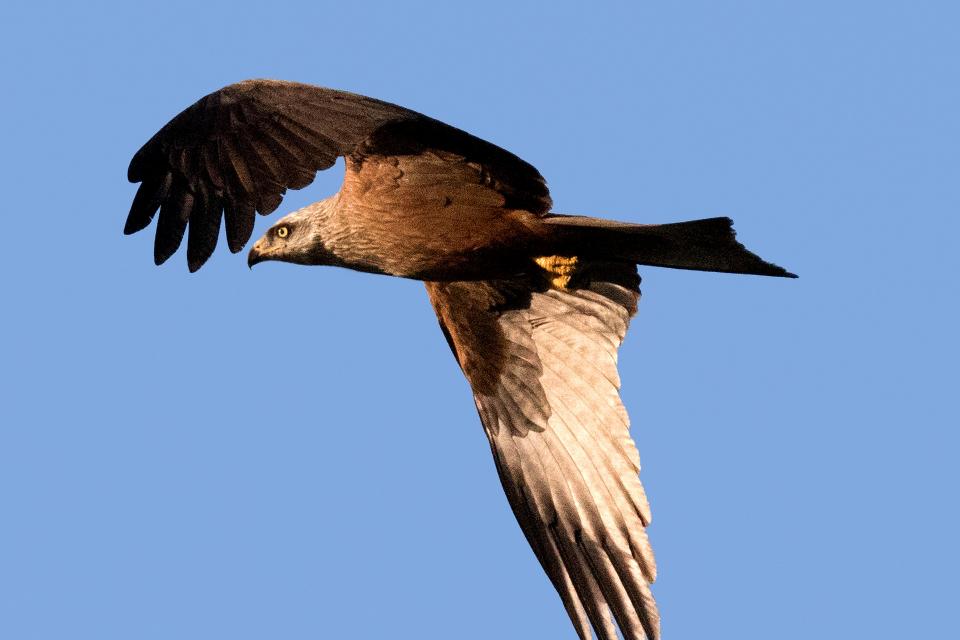"""От природозащитната организация """"Зелени Балкани"""" призовават гражданите да подават сигнали, ако забележат посегателство върху царски орел, бракониерство..."""