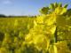 Със значително по-ниски добиви приключва жътвата на ечемика и на маслодайната рапица в Ямболска област