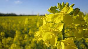 Със значително по-ниски добиви приключва жътвата на ечемика и на маслодайната рапица в Ямболска област, съобщиха от Областната дирекция по земеделие. Средните...
