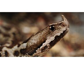 Зоолози: Ако видите змия, внимавайте да не я предизвикате